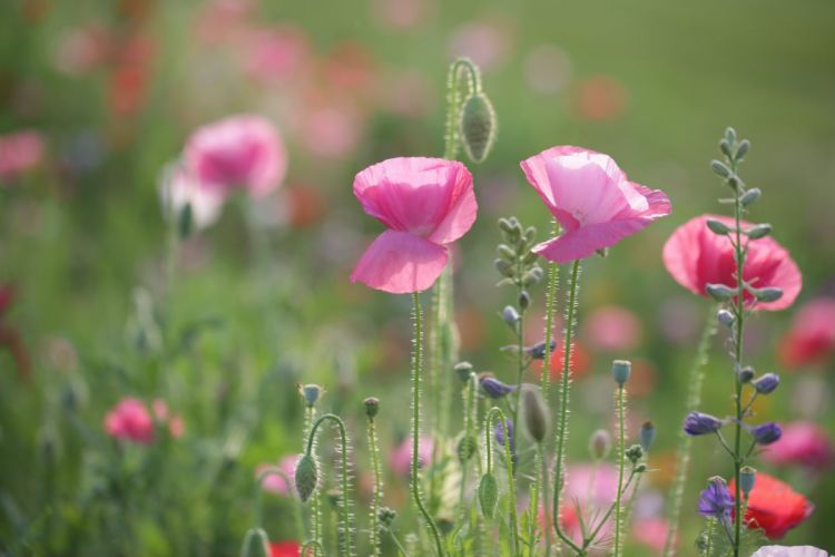 meadow poppies buds close-up wallpaper
