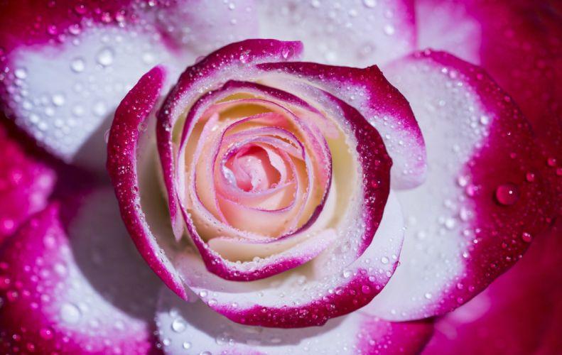 rose petals drops macro wallpaper