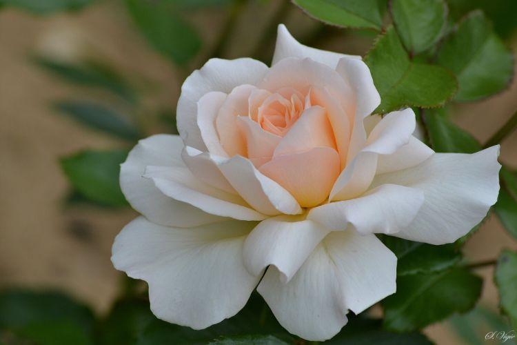 Rose petals close-up wallpaper