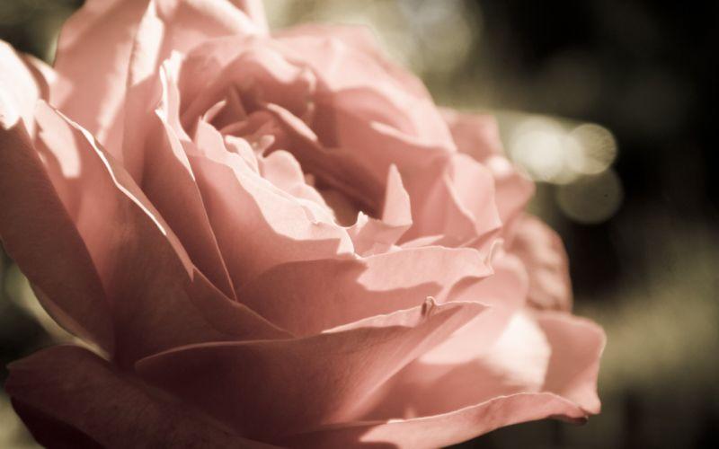 rose bud flower macro petals wallpaper