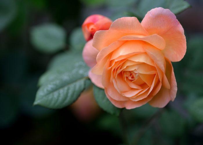 rose bud petals close-up c wallpaper