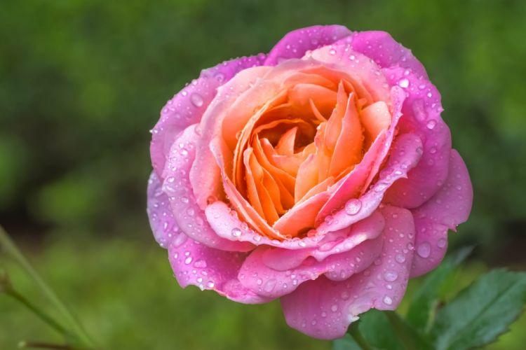 rose bud petals drops macro g wallpaper