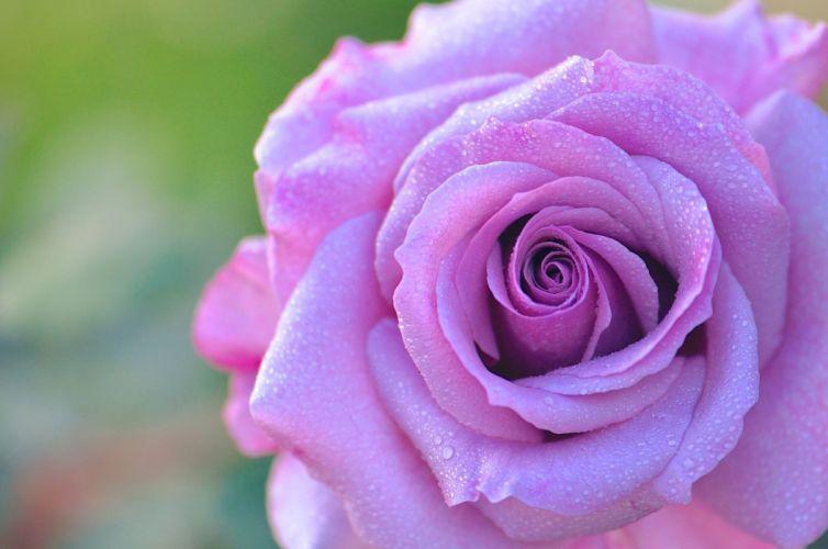 rose bud petals drops dew close-up wallpaper