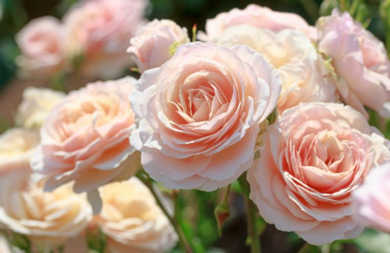 roses pink buds tender close-up wallpaper