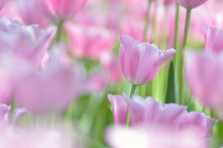 tulips tulip bud macro bokeh wallpaper