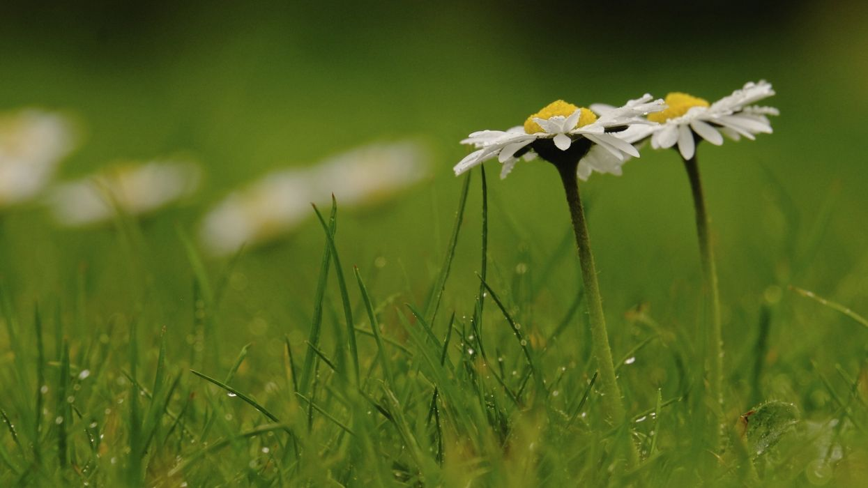 daisies grass drops macro wallpaper