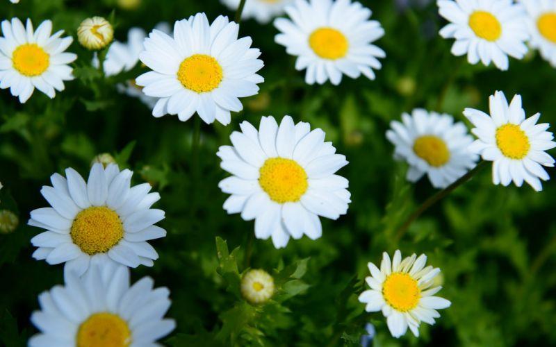 daisies flowers summer wallpaper