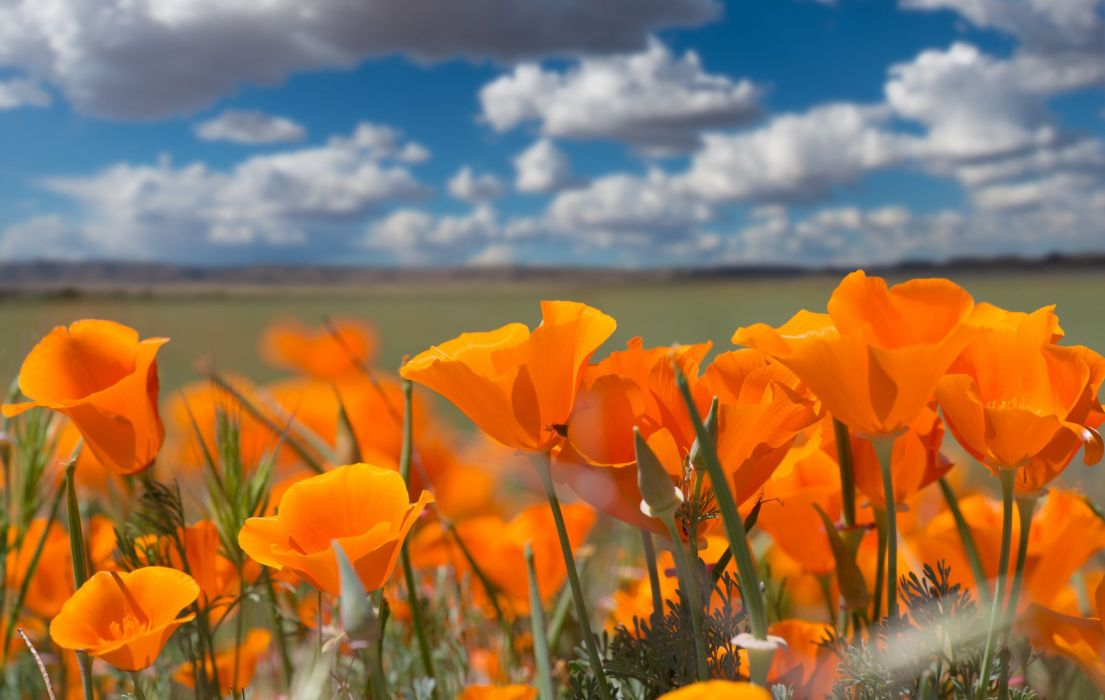 Eschscholzia californica California poppy poppies wallpaper