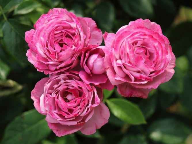 roses buds macro photo wallpaper