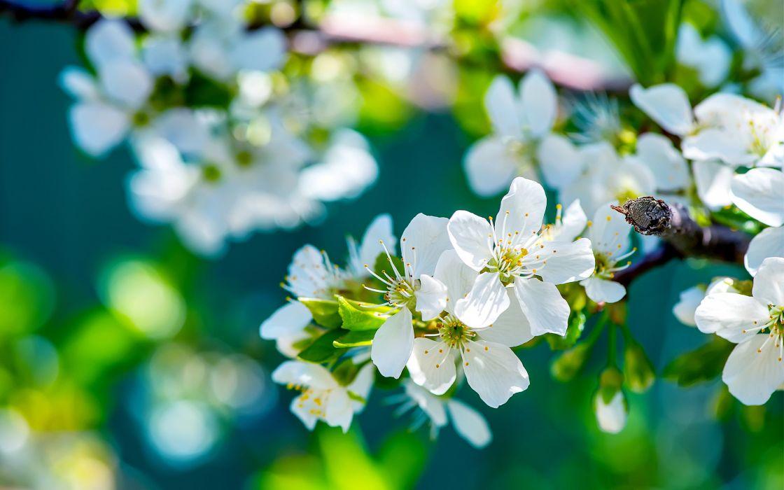 apple tree branch bloom macro spring wallpaper