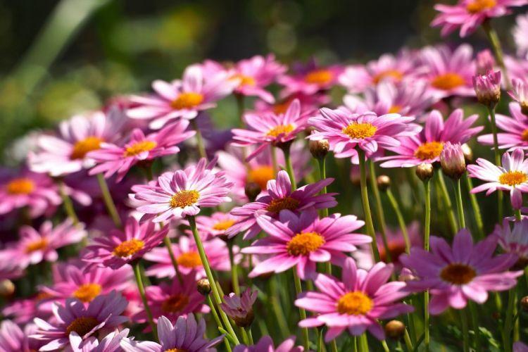 argirantemum daisies wallpaper