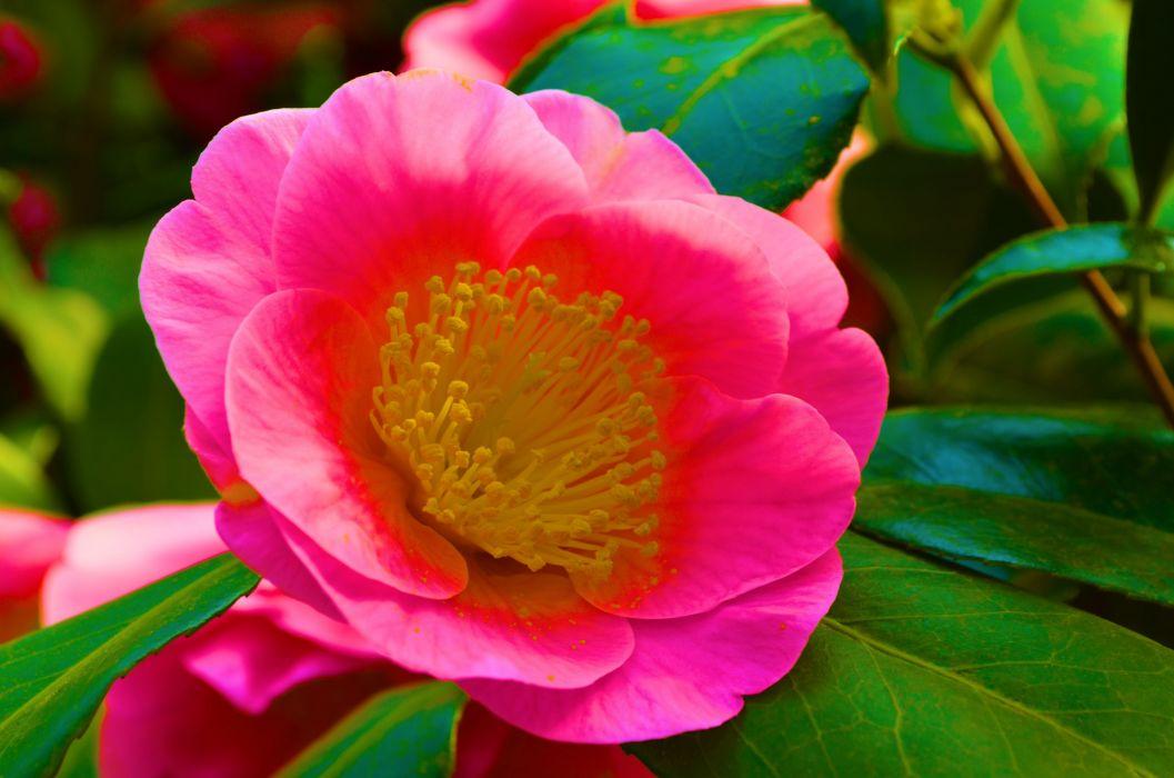 Camellia red garden Japanese wallpaper