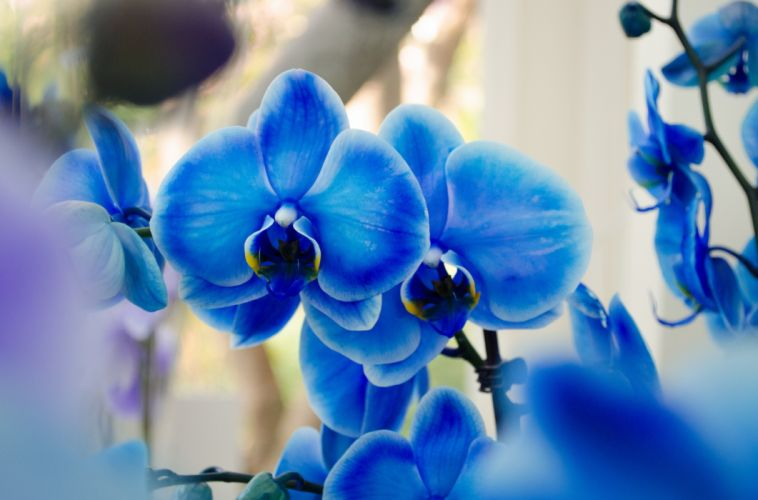 blue phalaenopsis orchids exotic wallpaper