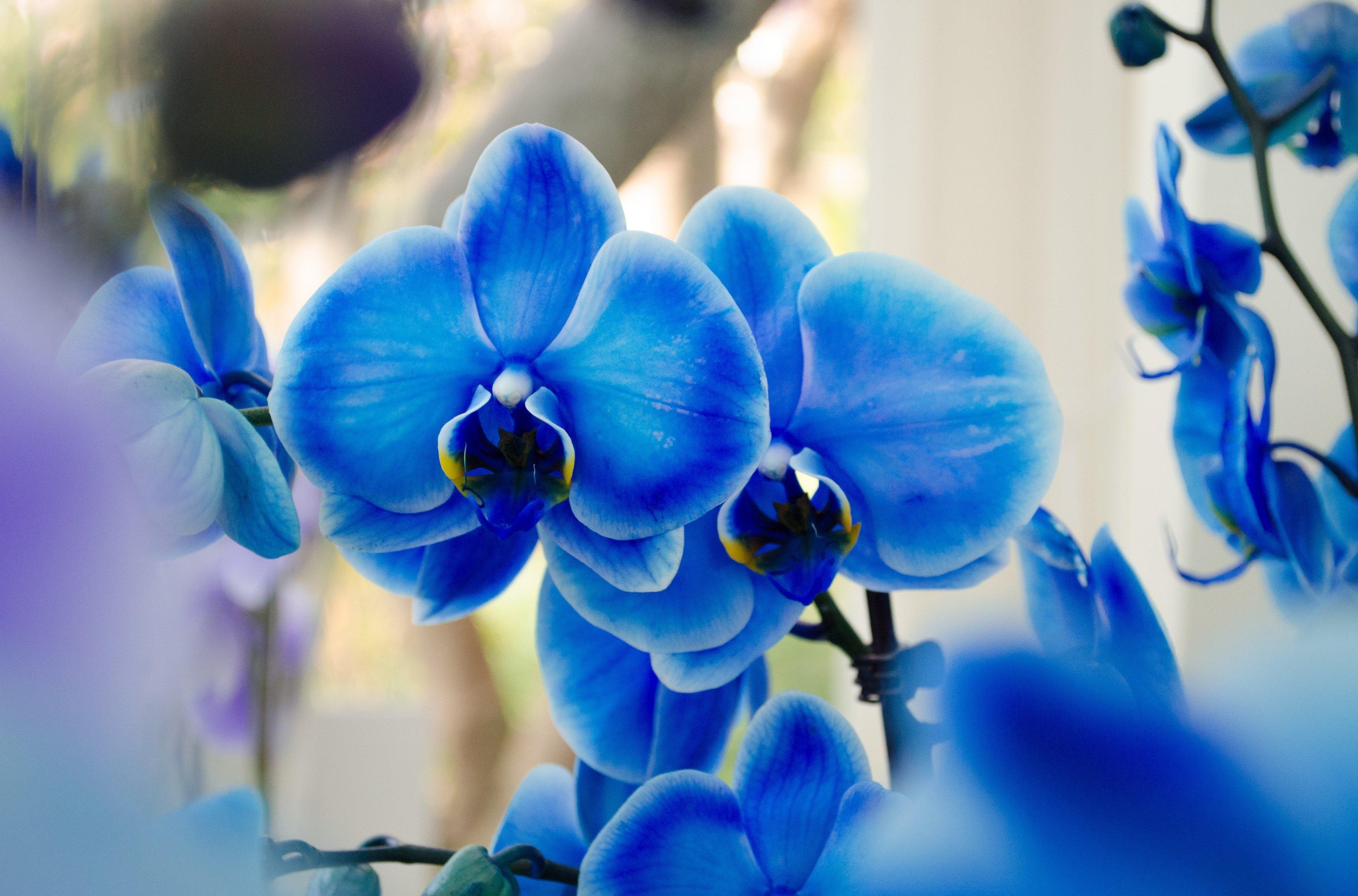 Orchid Phalaenopsis Blue