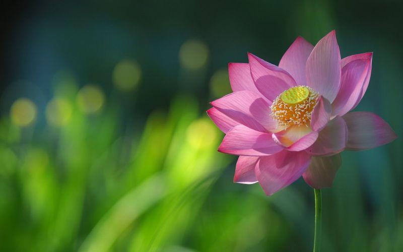 lotus petals close-up wallpaper
