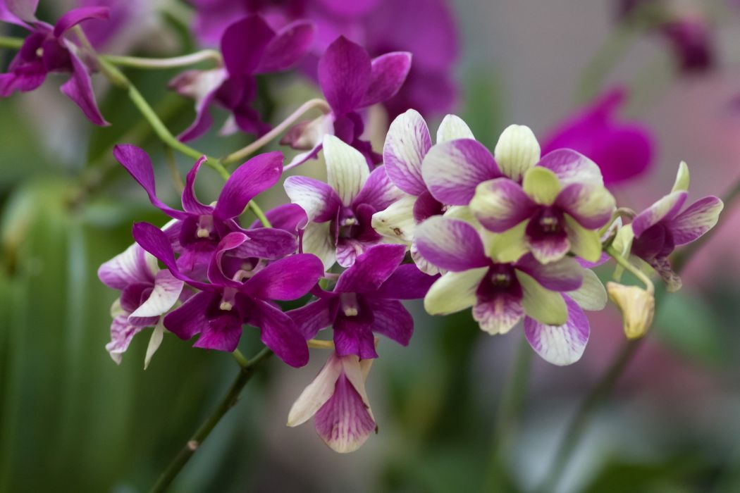 orchid branch exotic wallpaper