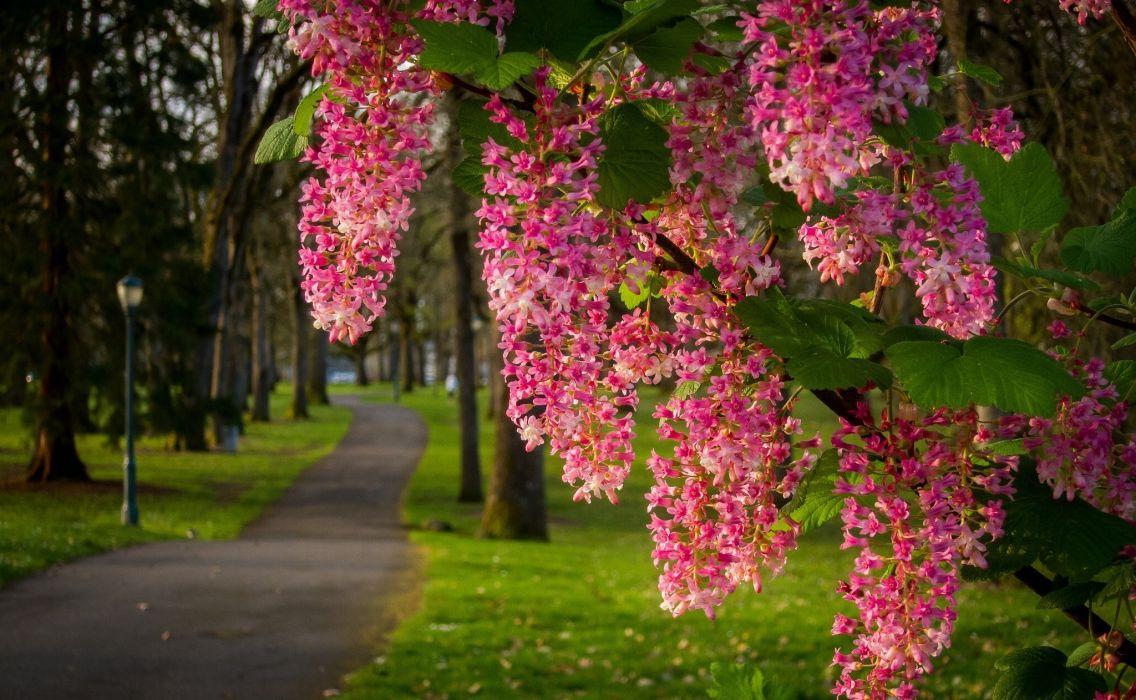 park path branch bloom flowers buds wallpaper