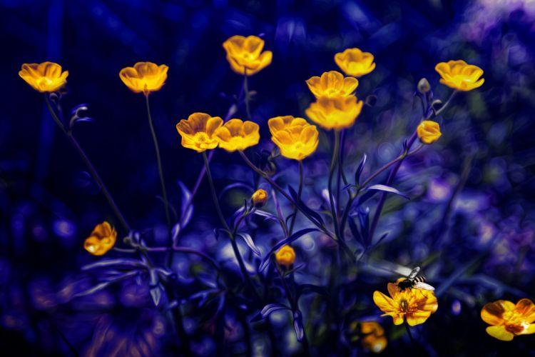 Photoshop buttercups blue background wallpaper