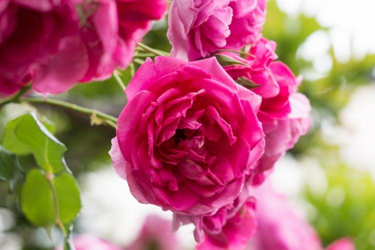 rose roses petals close-up wallpaper