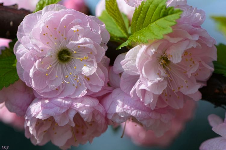 sakura cherry branch bloom flowers close-up wallpaper