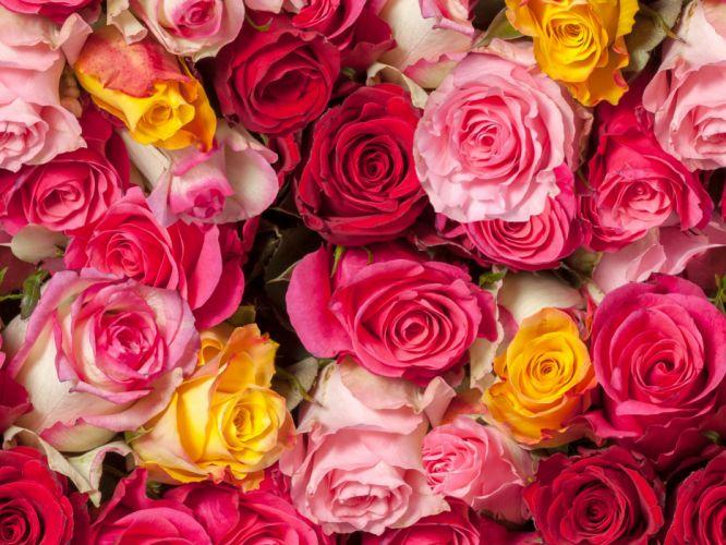 rose buds many wallpaper