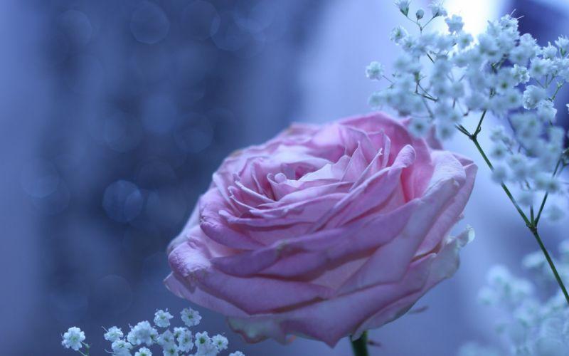 rose bokeh flower beautiful wallpaper