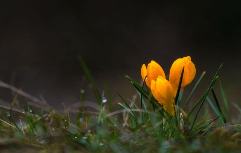 spring crocus yellow grass dew sparkle wallpaper