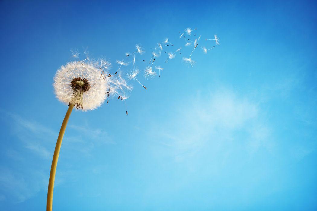 sky dandelion flower background wallpaper