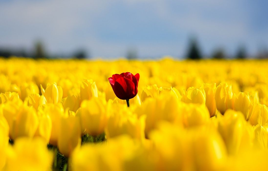 Tulips flowers field yellow red single nature spring wallpaper