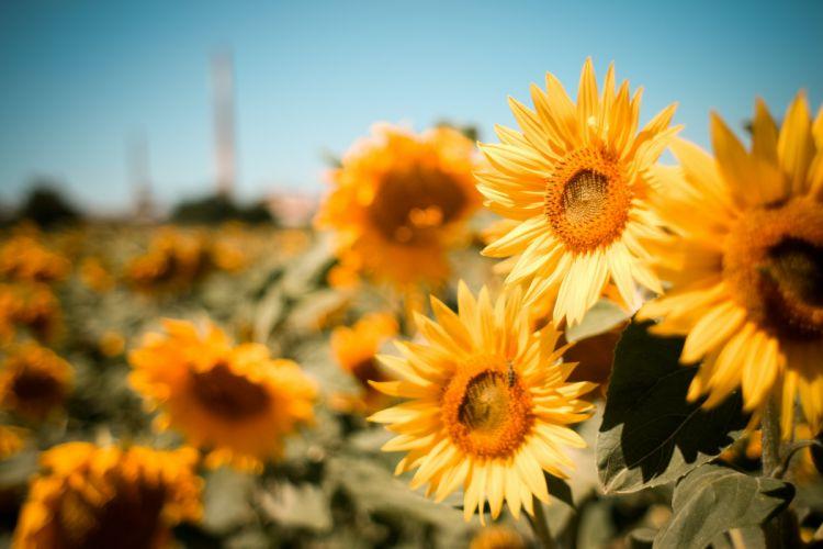 sunflowers summer nature field flowers wallpaper