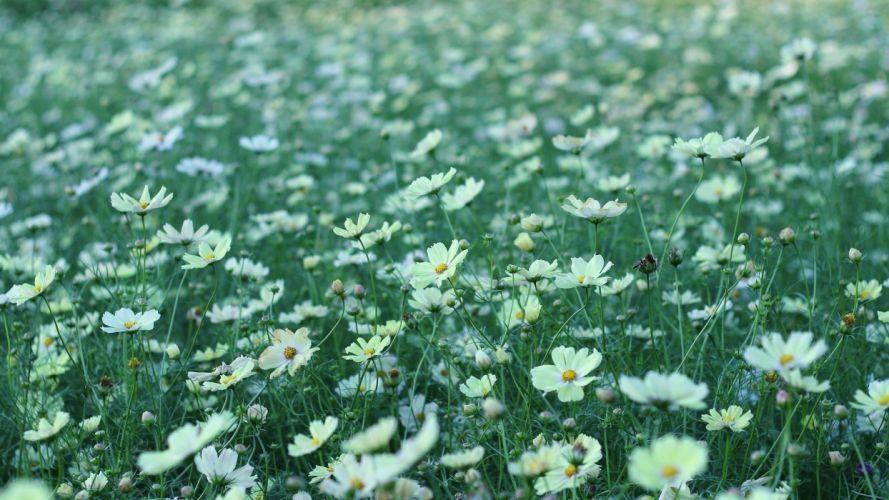 field flowers white kosmeya wallpaper