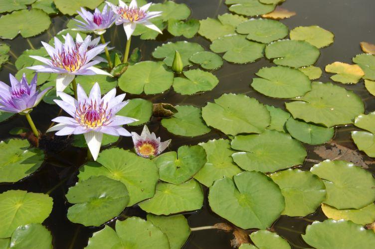 flowers lotus wallpaper