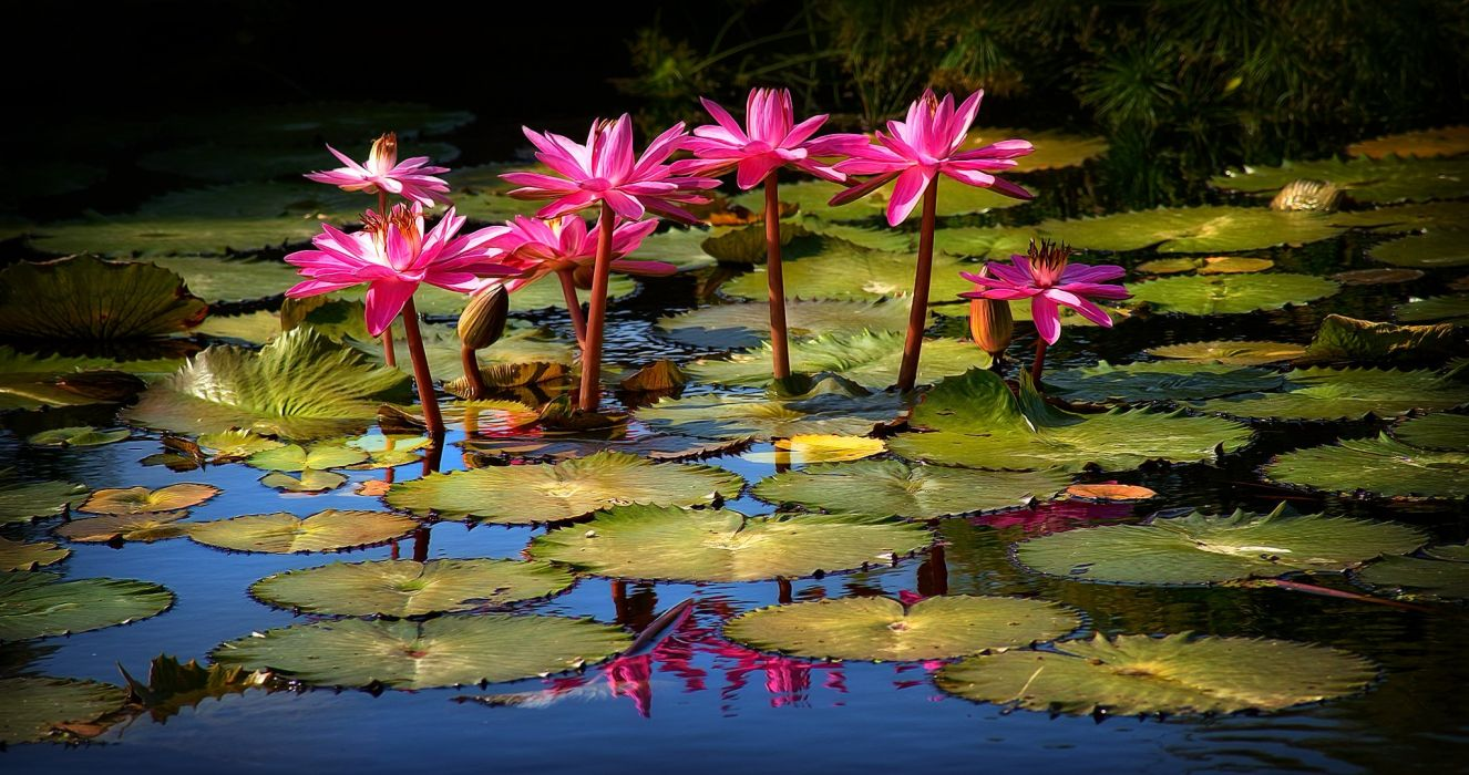 Lily lilies flowers flora h wallpaper