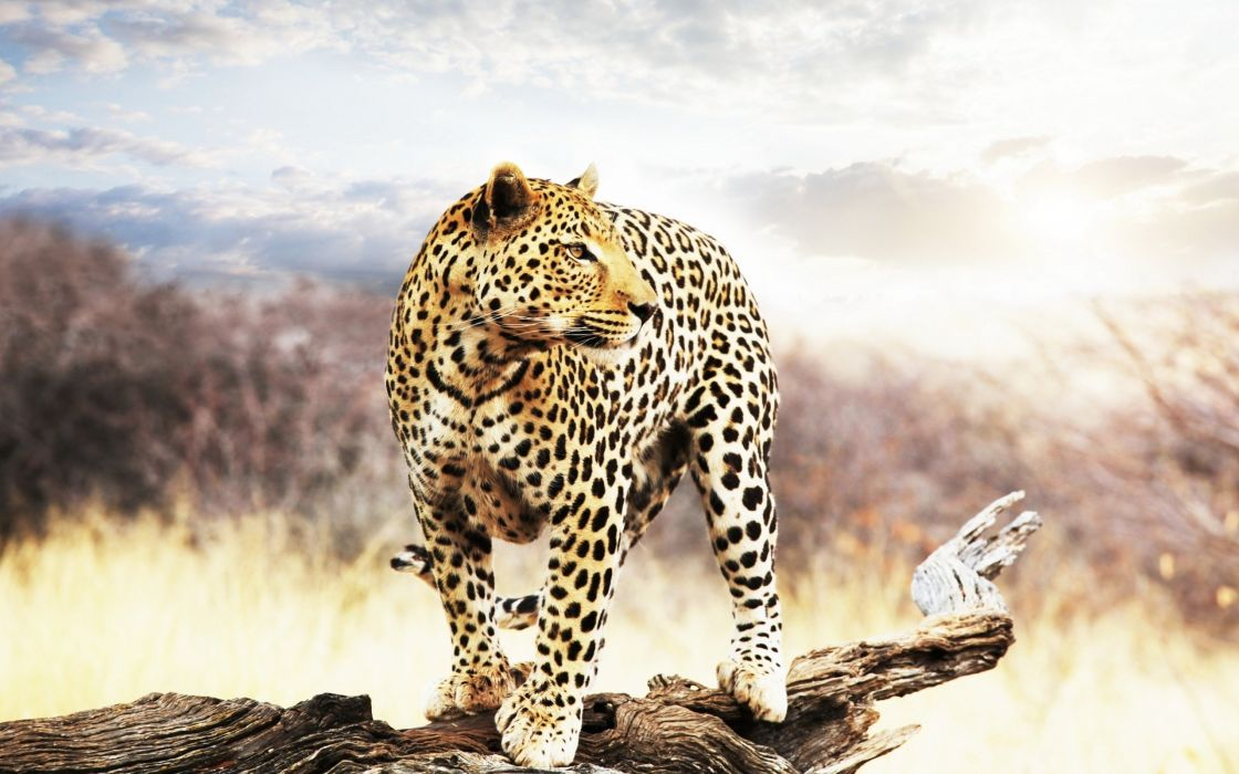 leopard looking into the distance speck trees sky wild cats wallpaper