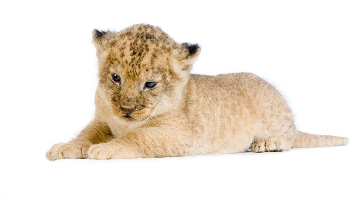 lion wild cat lying face white background photo shoot baby wallpaper