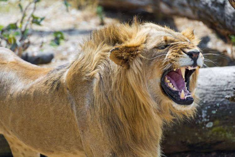 lion young wild cat predator mane face teeth fury rage jaws teeth growl angry angry wallpaper