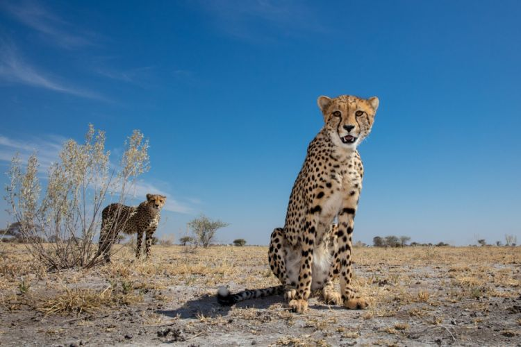 savanna leopard wallpaper