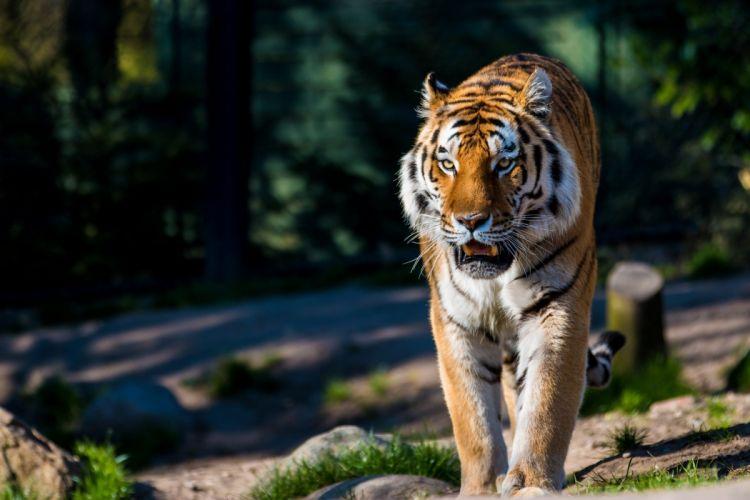 Amur tiger tiger wild cat predator wallpaper