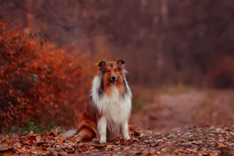 autumn leaves dog collie d wallpaper