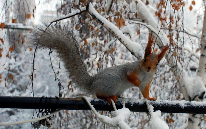animals squirrels snow branches squirrel snow animals winter winter squirrel rodent wallpaper
