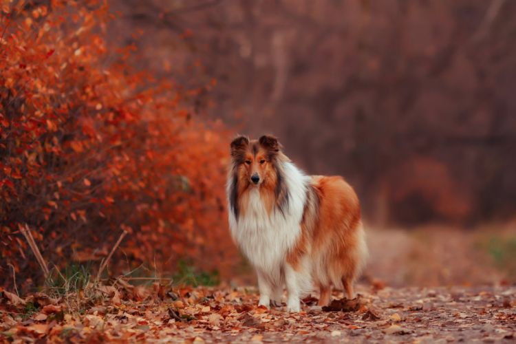 autumn leaves dog collie wallpaper
