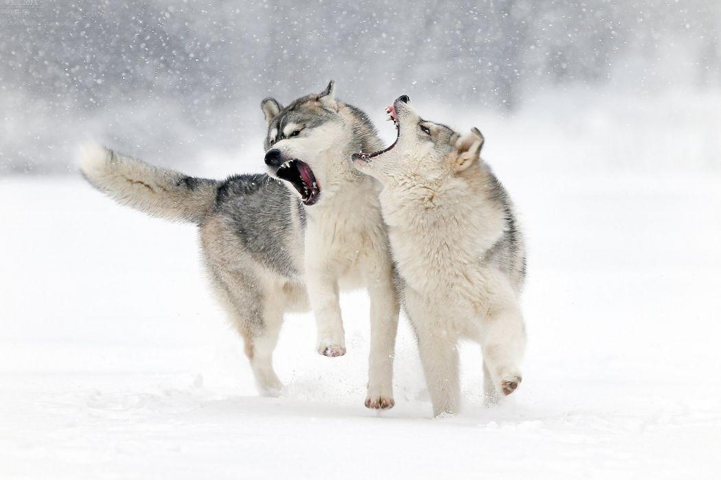 winter snow wolf wolf play grin love wallpaper
