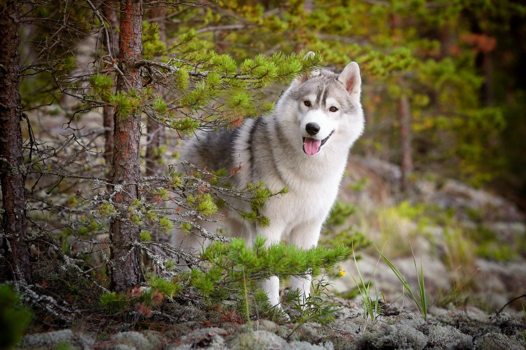 forest thicket tree wolf looks wallpaper