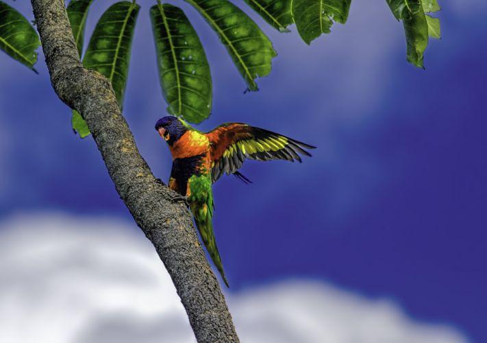 Rainbow lorikeet parrot poultry palm wallpaper