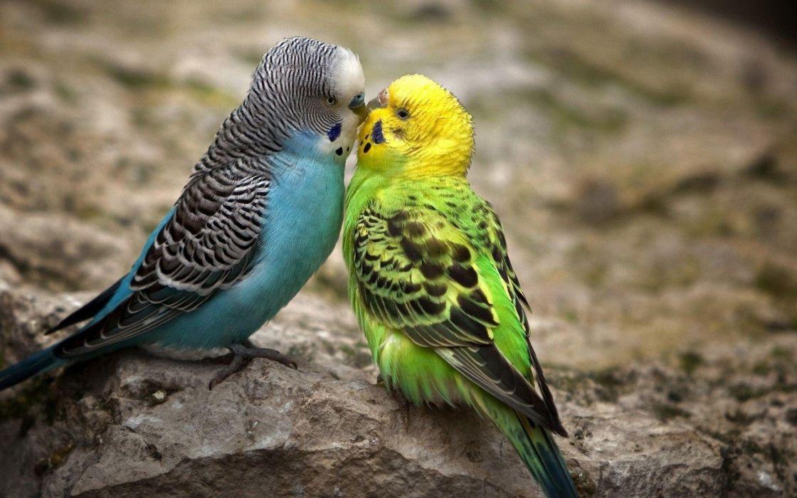 pareja periquitos aves animales wallpaper