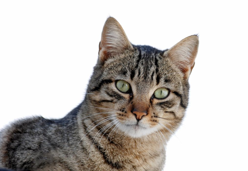 gato comun animal felino wallpaper
