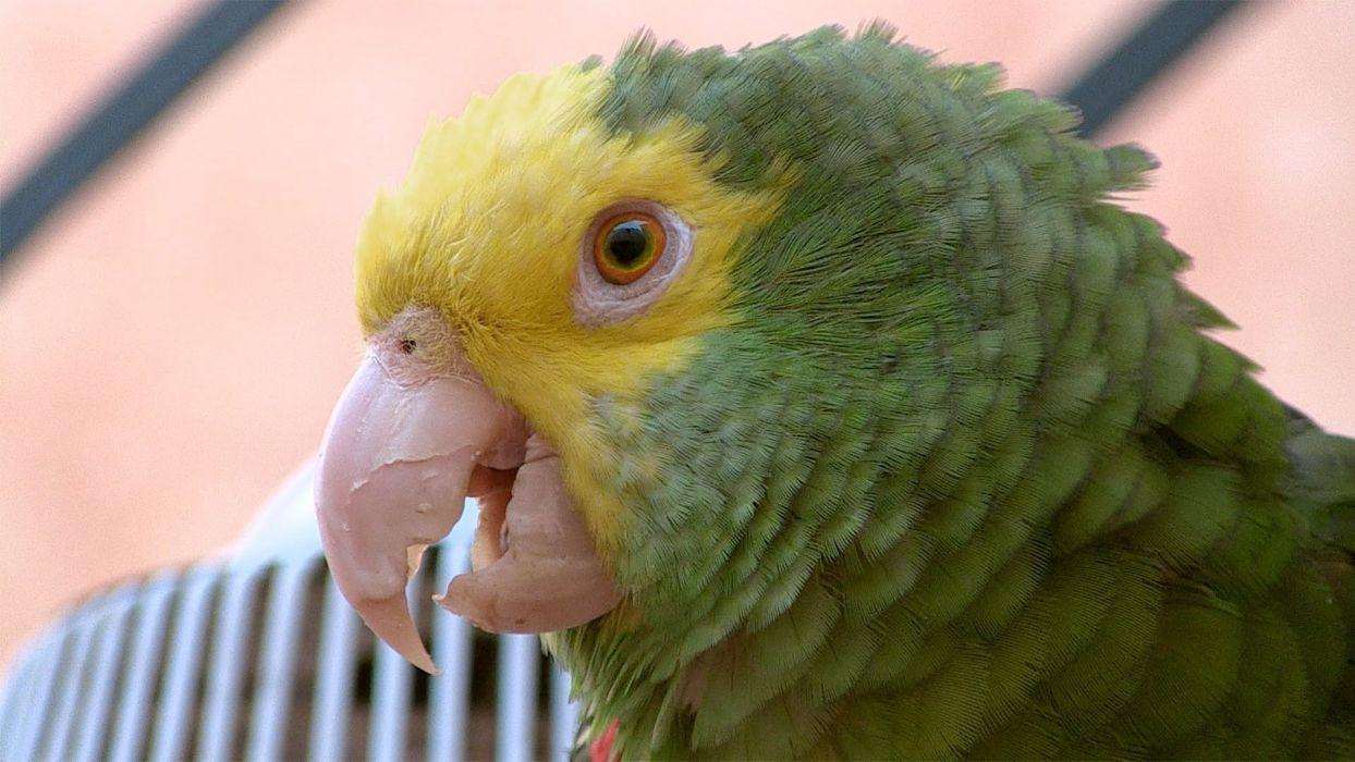 loro real amazonas verde ave animal wallpaper