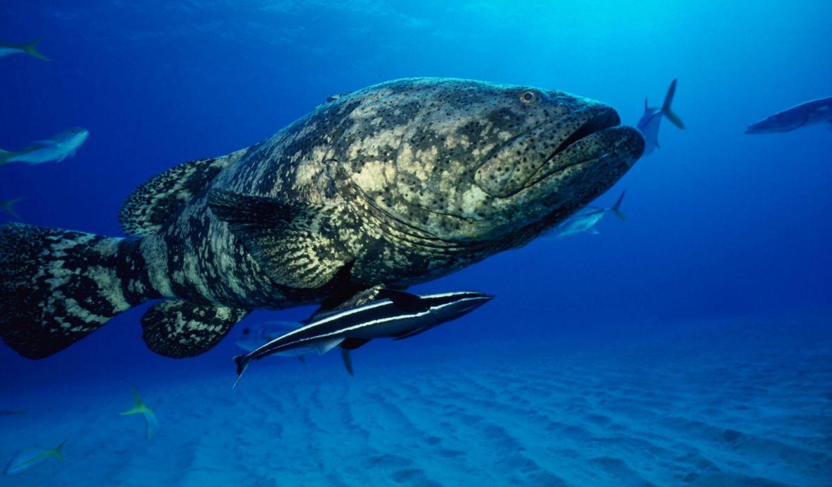 mero peces animales wallpaper