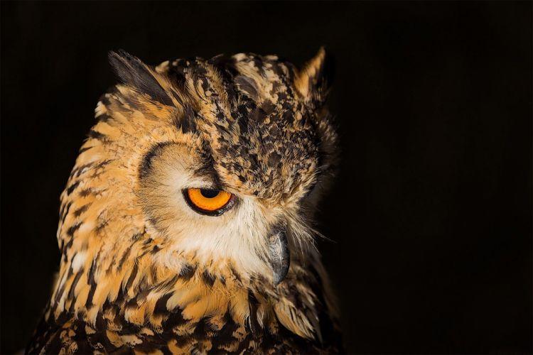 animal bird owl yellow eyes wallpaper
