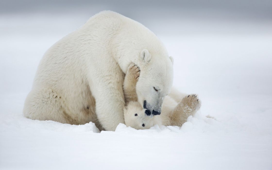 animal baby winter snow polar bear wallpaper